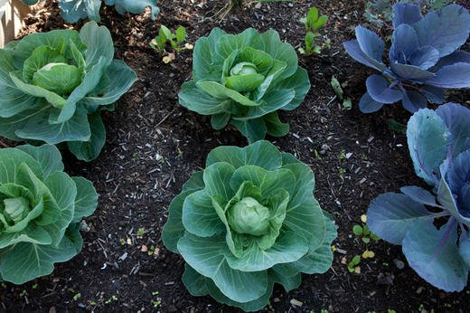 Beautiful cabbages show nature's geometry.